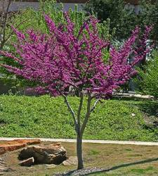 Specific trees edmond north oklahoma city guthrie ok the oklahoma redbud is one of the first trees to flower in the early spring blooming petite purple red flowers in large clusters mightylinksfo